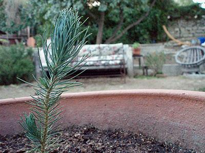 pine070108.jpg