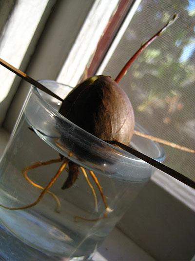 avocado0902.jpg